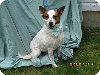 Labrador Retriever/Collie Mix Dog for adoption in Glastonbury, Connecticut - Holly