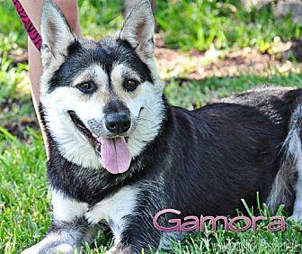 Siberian Husky Dog for adoption in Carrollton, Texas - Gamora