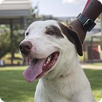 Adopt A Pet :: Henry - Stillwater, OK