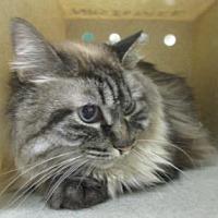 Domestic Mediumhair Cat for adoption in Reno, Nevada - Mellow Yellow