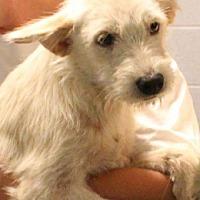 Adopt A Pet :: Samson - Oswego, IL