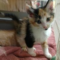 Adopt A Pet :: Isabell - Decatur, IL