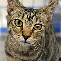 Adopt A Pet :: Blitz - Eureka, CA