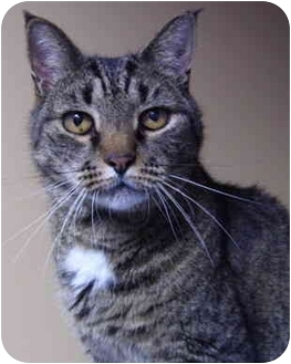 Domestic Shorthair Cat for adoption in Bloomingdale, New Jersey - Bob