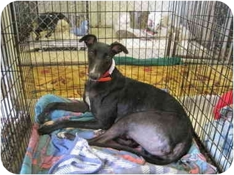 Greyhound Dog for adoption in Chagrin Falls, Ohio - Frosty (Perfectly Frosty)