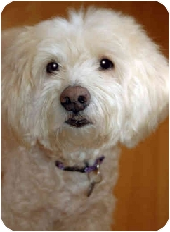 Maltese/Poodle (Miniature) Mix Dog for adoption in Marina del Rey, California - Toodles