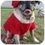 Photo 2 - Pug Dog for adoption in Mays Landing, New Jersey - Mr. Puppy-VA