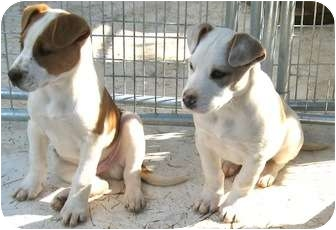 Beagle Mix Puppy for adoption in Tahlequah, Oklahoma - Maverick and/or Moe
