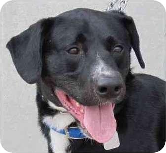 Labrador Retriever Mix Dog for adoption in Detroit, Michigan - Rascal-Pending