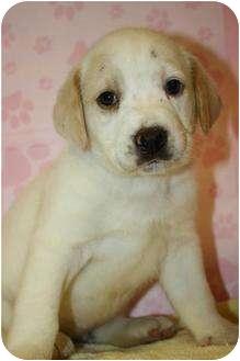 Golden Retriever/Shar Pei Mix Puppy for adoption in Hainesville, Illinois - Autumn
