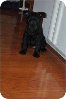 Terrier (Unknown Type, Small)/Pomeranian Mix Puppy for adoption in Webster, Minnesota - Aria