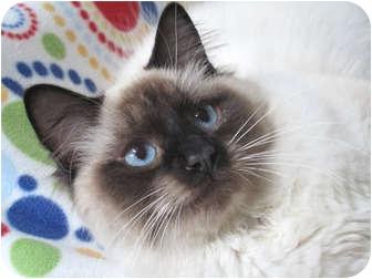 Ragdoll Cat for adoption in Davis, California - Tokidoki