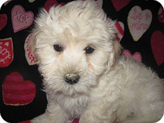 Pekingese/Poodle (Toy or Tea Cup) Mix Puppy for adoption in Wauseon, Ohio - Marley