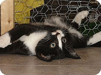 Domestic Shorthair Cat for adoption in Barnegat, New Jersey - Bongo
