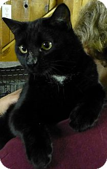 Domestic Shorthair Cat for adoption in Quincy, California - Roper