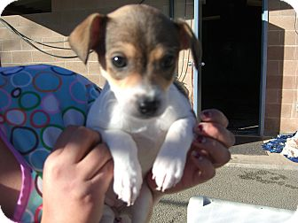 Chihuahua/Terrier (Unknown Type, Small) Mix Puppy for adoption in Kelseyville, California - Bonnie