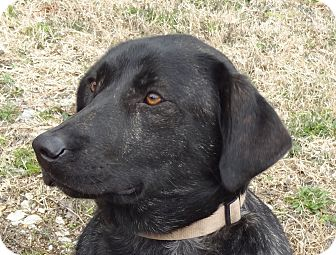 Labrador Retriever/Great Dane Mix Dog for adoption in Parsons, Tennessee - Sweetie