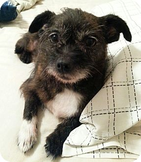 Chihuahua/Terrier (Unknown Type, Small) Mix Dog for adoption in Troy, Ohio - Martha~Adopted!