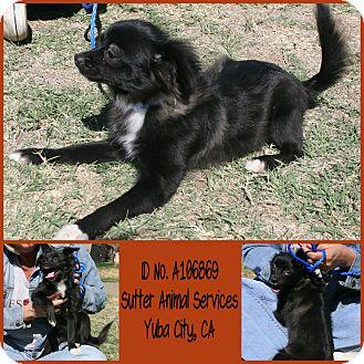 Pomeranian/Chihuahua Mix Puppy for adoption in Yuba City, California - 09/24 Candace