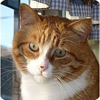 Domestic Shorthair Cat for adoption in Independence, Missouri - Butterscotch