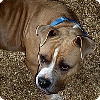 Adopt A Pet :: hammer - Wanaque, NJ