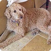 Adopt A Pet :: FL - Yoda - Boca Raton, FL