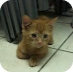 Domestic Shorthair Kitten for adoption in Wheaton, Illinois - Chucky