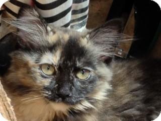 Domestic Mediumhair Kitten for adoption in Covington, Kentucky - Sela