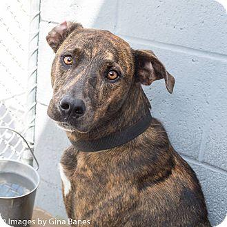 Labrador Retriever Mix Dog for adoption in Sierra Vista, Arizona - Beauty