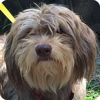 Maltese/Dachshund Mix Dog for adoption in Orlando, Florida - Cocoa