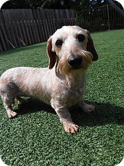 Dachshund Dog for adoption in Dublin, California - Ripley