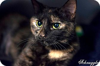 Domestic Shorthair Cat for adoption in Manahawkin, New Jersey - Schnuggles