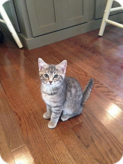 Domestic Shorthair Kitten for adoption in Homewood, Alabama - Lucy