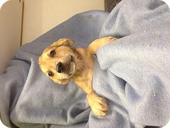 Australian Shepherd Mix Puppy for adoption in Pompton Lakes, New Jersey - Shelbys 2 pups left