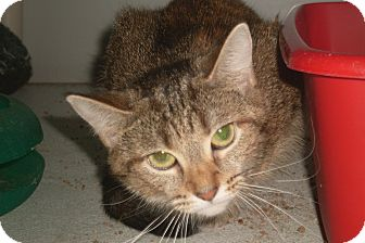 Domestic Shorthair Cat for adoption in Hartford, Kentucky - Cutie
