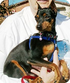 Miniature Pinscher Dog for adoption in Castro Valley, California - Winston