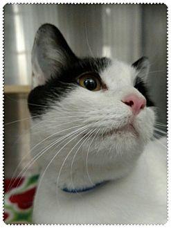 Domestic Shorthair Cat for adoption in Pueblo West, Colorado - Sargento