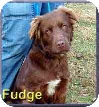 Labrador Retriever Mix Dog for adoption in Aldie, Virginia - Fudge