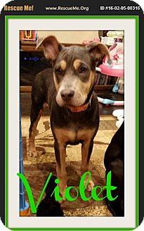 Great Dane/Catahoula Leopard Dog Mix Puppy for adoption in bullard, Texas - violet