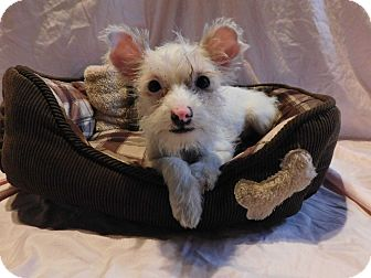 Terrier (Unknown Type, Small) Mix Puppy for adoption in Richmond, California - Corona