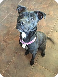Pit Bull Terrier Mix Dog for adoption in Worcester, Massachusetts - Kady