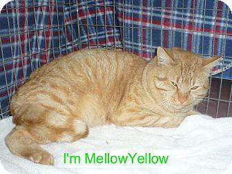 Domestic Shorthair Cat for adoption in Tehachapi, California - Mellow Yellow