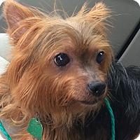 Adopt A Pet :: Mischa - Lancaster, TX