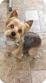 Silky Terrier/Yorkie, Yorkshire Terrier Mix Dog for adoption in Manassas, Virginia - Trooper