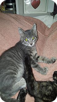 Domestic Shorthair Kitten for adoption in Tampa, Florida - Sarge