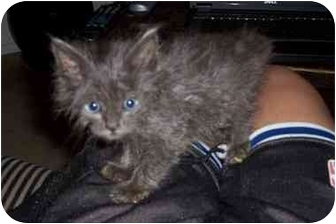 Domestic Mediumhair Kitten for adoption in Davis, California - Oscar
