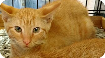 Domestic Shorthair Kitten for adoption in Randolph, New Jersey - Kendra & Kennedy