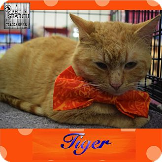 Domestic Shorthair Cat for adoption in Washington, Pennsylvania - Tiger