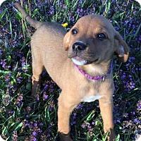 Adopt A Pet :: Honey Bunches - Racine, WI