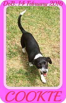 Rat Terrier Mix Dog for adoption in New Brunswick, New Jersey - COOKIE